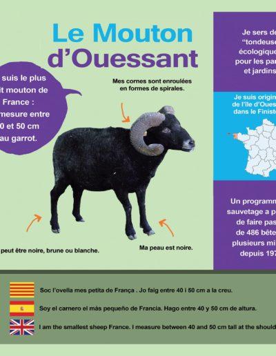 Mouton d'Ouessanta