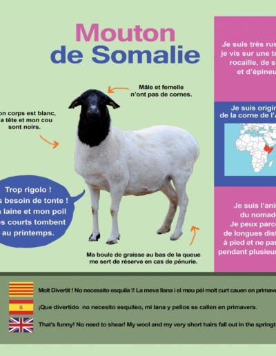 Mouton de Somalie